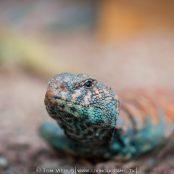 Sinai´s Agamid lizards | Dahab - Egypt