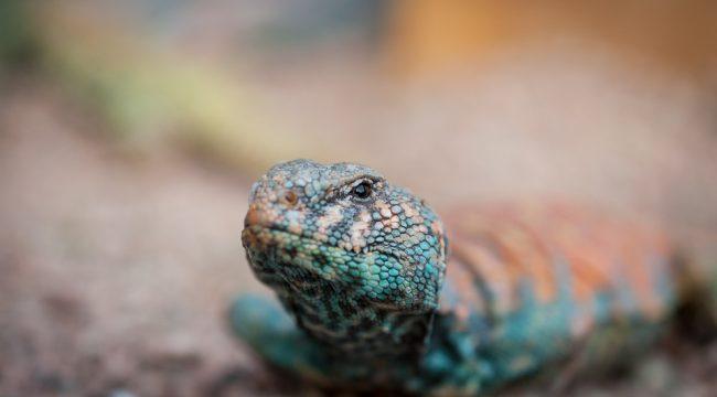 Sinai´s Agamid Lizard, Egypt