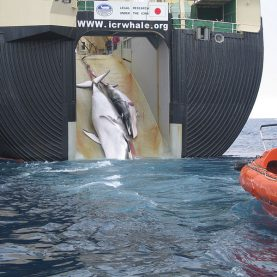 Victory for the whales - ICJ halts Japan's whale hunt