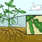 Miracle plant SOYBEANS - what is it, how does it look and what is it good for?