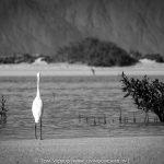 Birds in Dahab – including the huge ospreys!