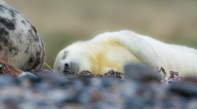 New born seal pup on Helgoland, Germany