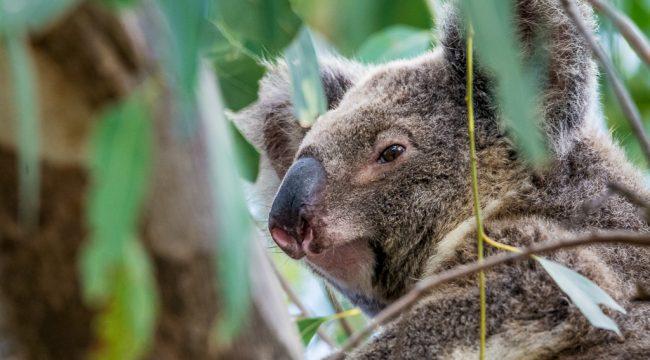 Koala in North Stradbroke Island, Australia