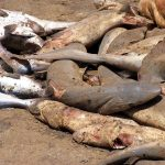 Why we should stop killing sharks and start protecting them!
