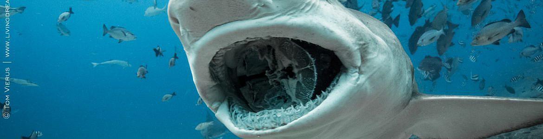 Shark Dive Fiji, Shark Reef Marine Reserve, BS Kinetics