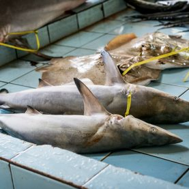 Artisanal and subsistence shark fisheries in Fiji | New paper