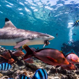 Sharkdiving in Fiji – favorite images so far