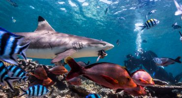 Sharkdiving, Sharks, Beqa, Beqa Adventure Divers, BAD, Underwater, Marine Protected Area