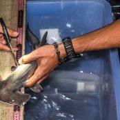 Shark Nursery Project, Fiji – Update III - Preliminary results