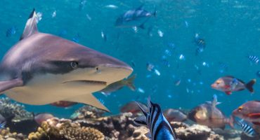 Sharks, Blacktip Reef Shark, Fiji, EEA 2016