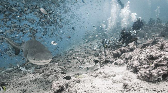 Fiji, divers, sharks, handfeeding, nurse shark, bull shark