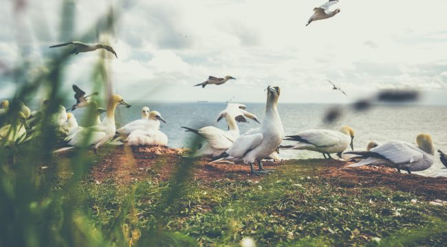 Helgoland, Birds, Nature, Photography, Oberland, Germany, Tenants