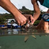 #Physioshark Update – four weeks in the field on Moorea