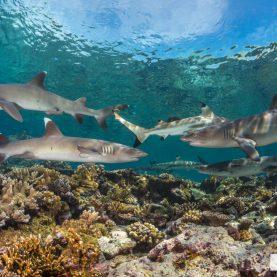 Fiji Shark Diving 2018