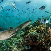 My Fiji Shark   Adopt a shark and help conservation