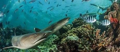 My Fiji Shark | Adopt a shark and help conservation