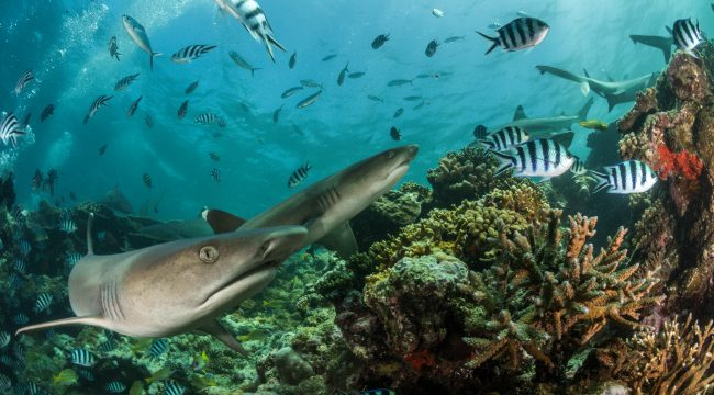 Adopt a shark, Fiji, Sharkdiving, SRMR