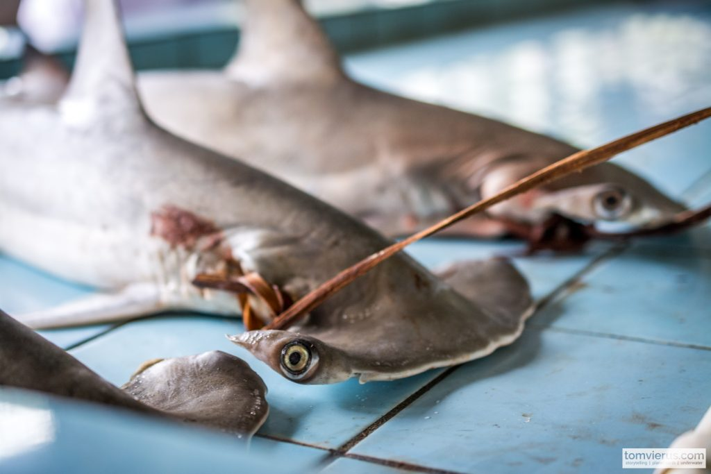 Sharks, research, Fiji, science, market, hammerhead
