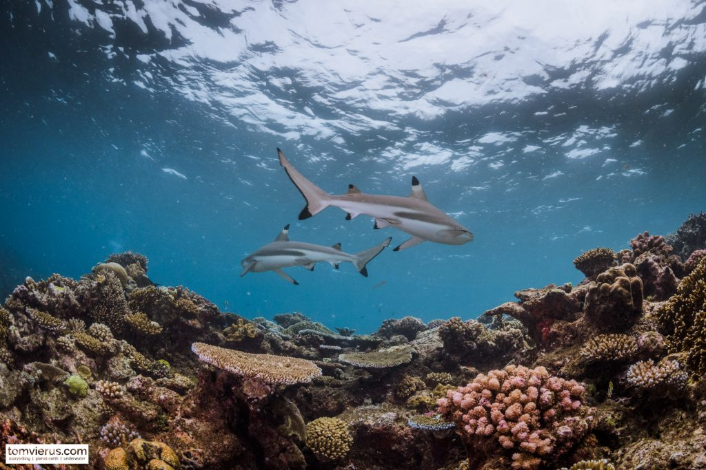 Fiji, Shark Reef, Beqa Adventure DIvers, Blacktip Reef Shark, Safety stop