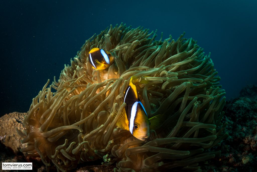 Anemone fish, Nemo, BAD, underwater, photography