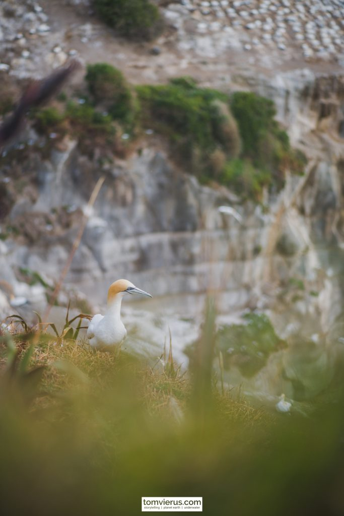 Birds, Muriwai, Gannet, Colony, New Zealand, Northland
