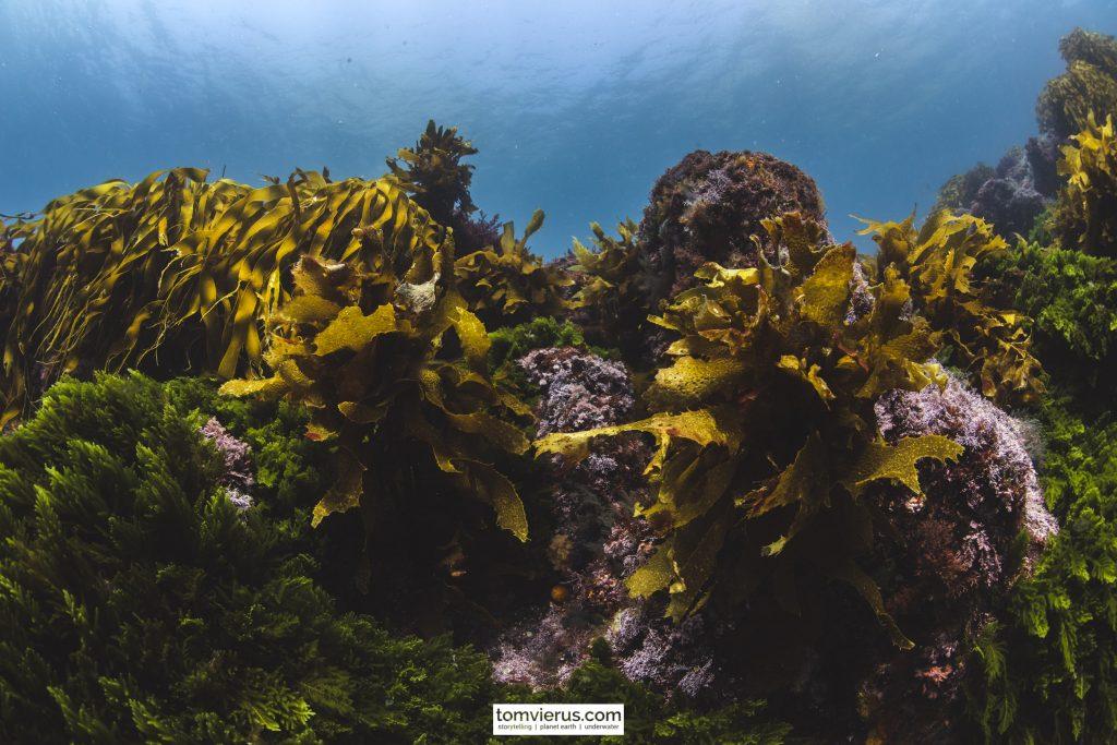 Kelp, Diving, Photograohy, Kelp forest, Nikon, Poor Knights Islands, New zealand