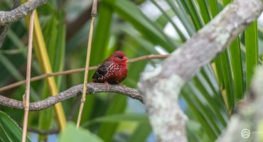 Small to medium-sized birds of Fiji - Part 1