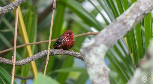 Small to medium-sized birds of Fiji - Part 1