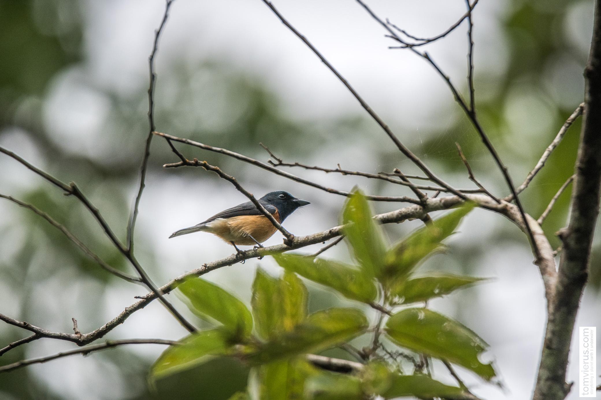 Vanikoro broadbill/flycatche