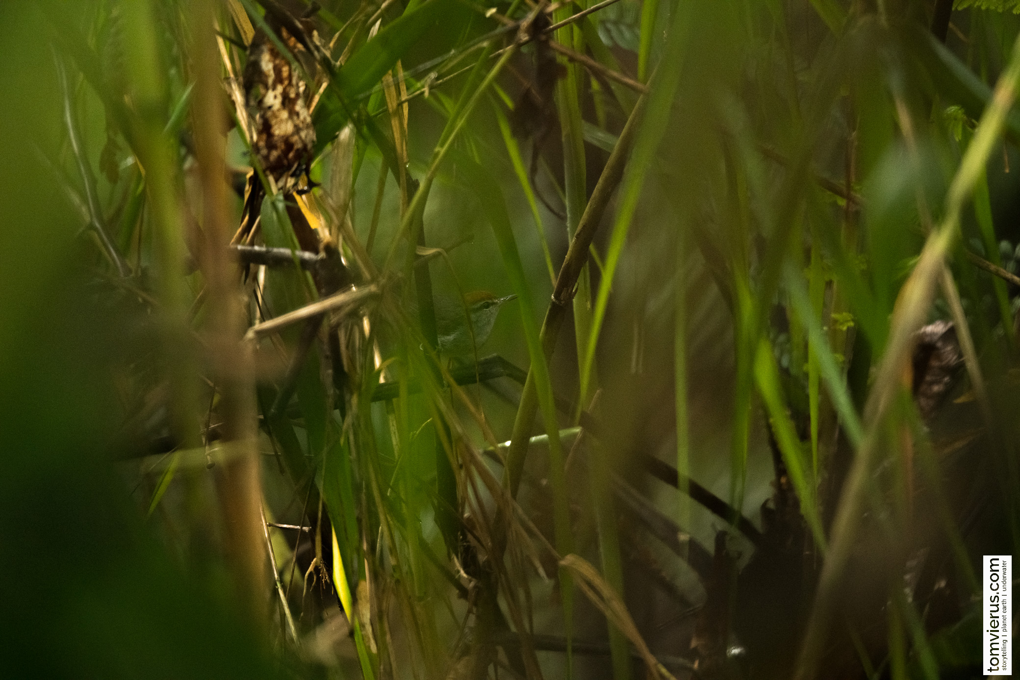 Fiji Bush-warbler