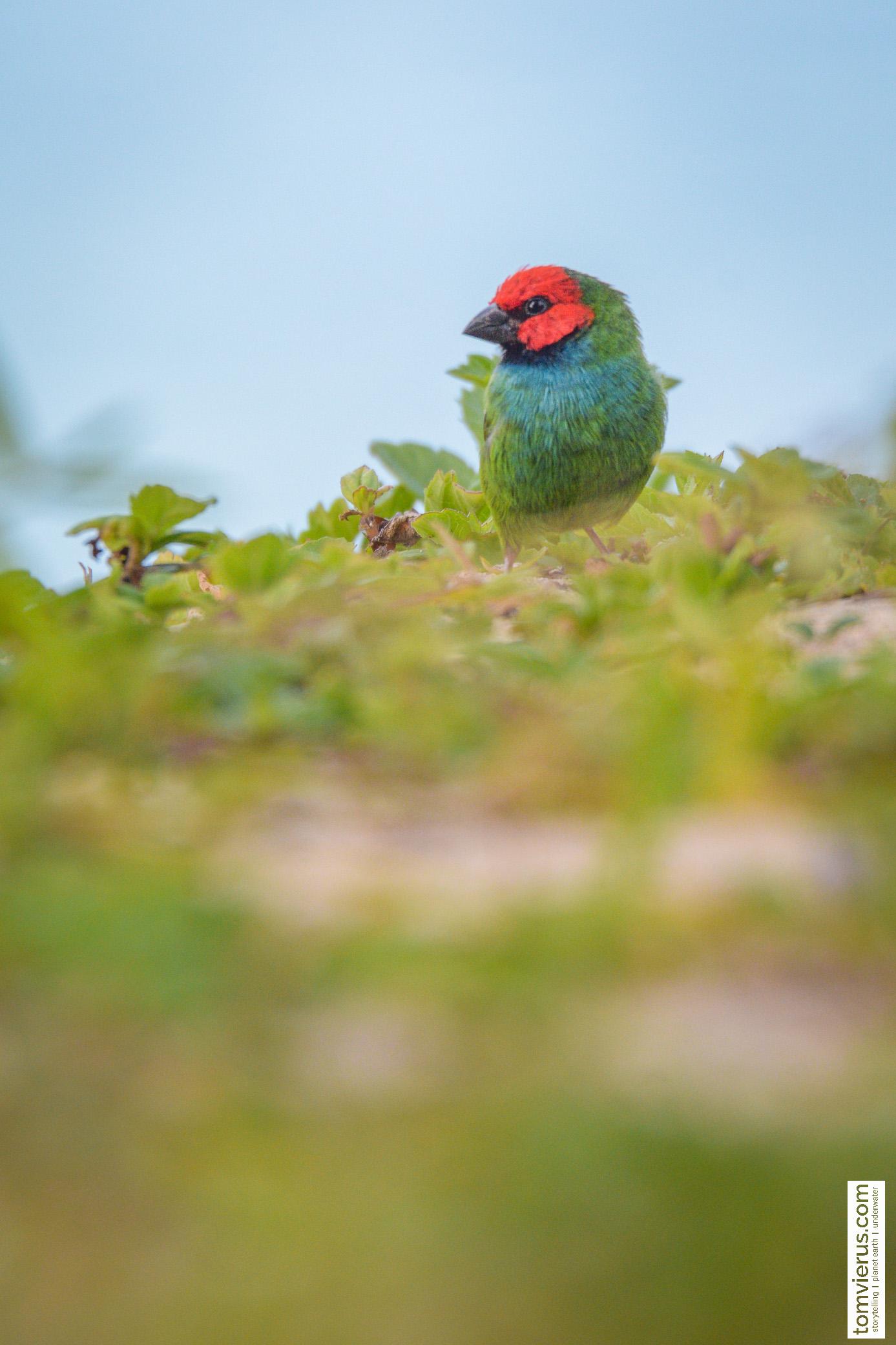 Fiji parrotfinch