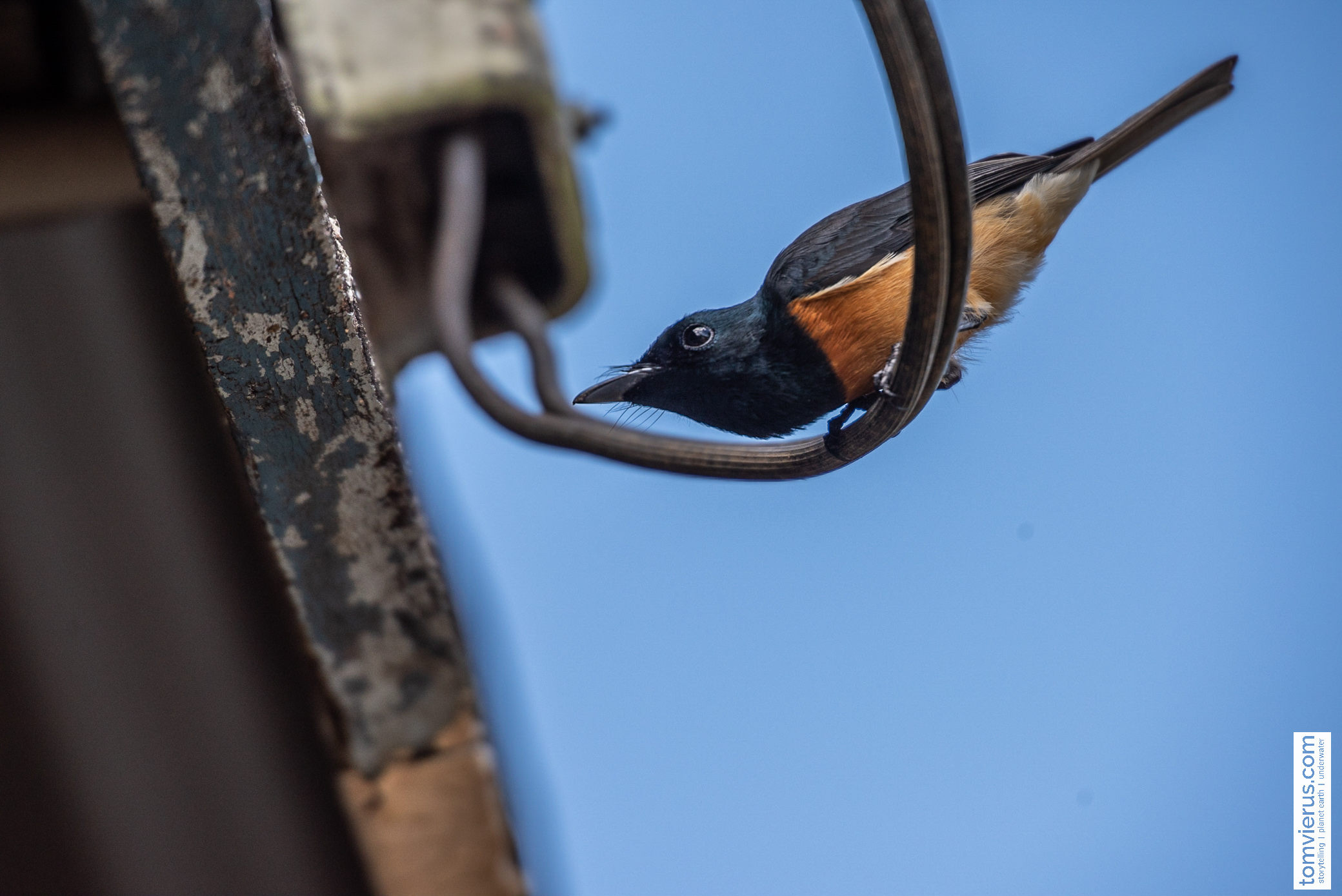 Vanikoro broadbill/flycatcher