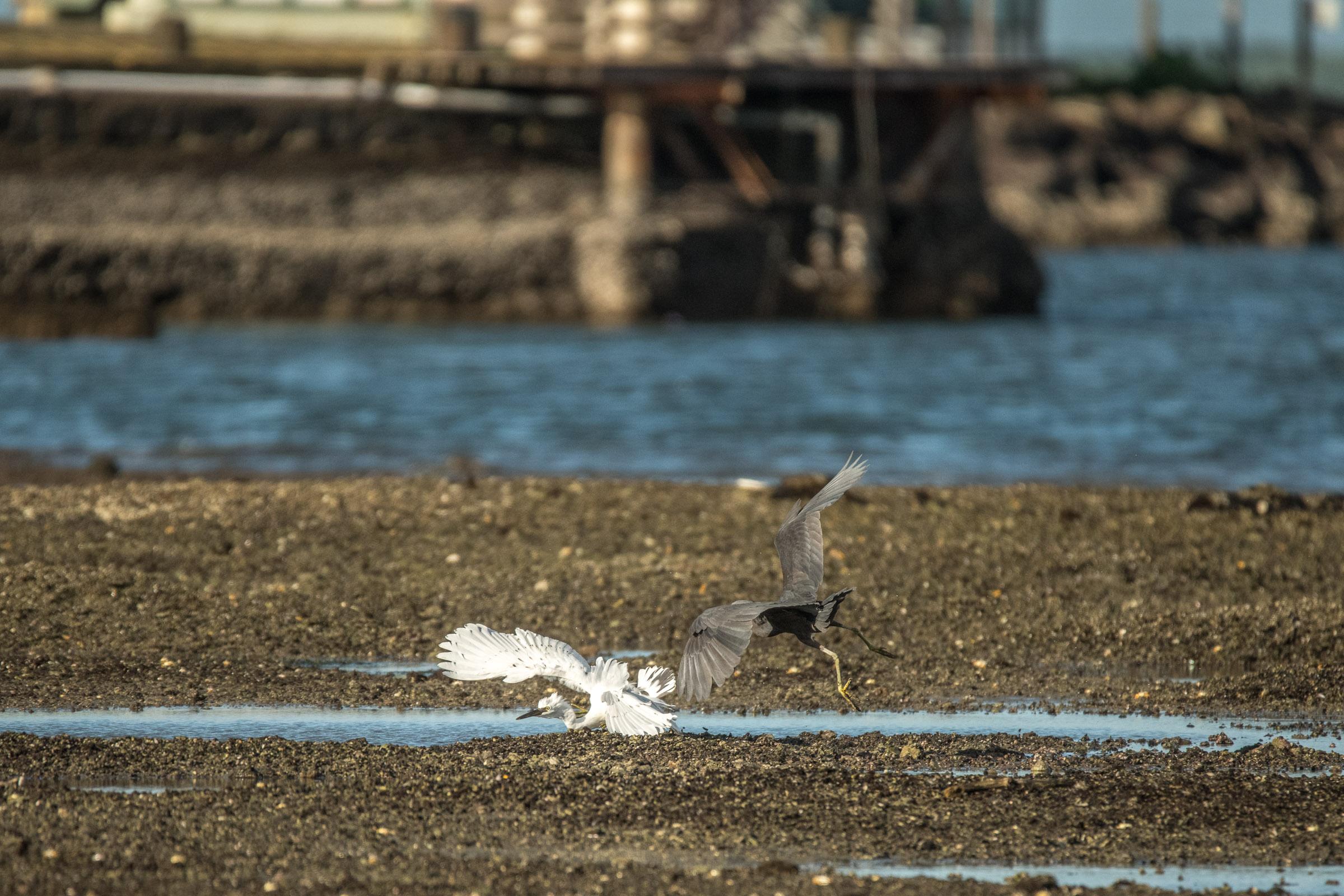 Pacific/Eastern Reef Heron