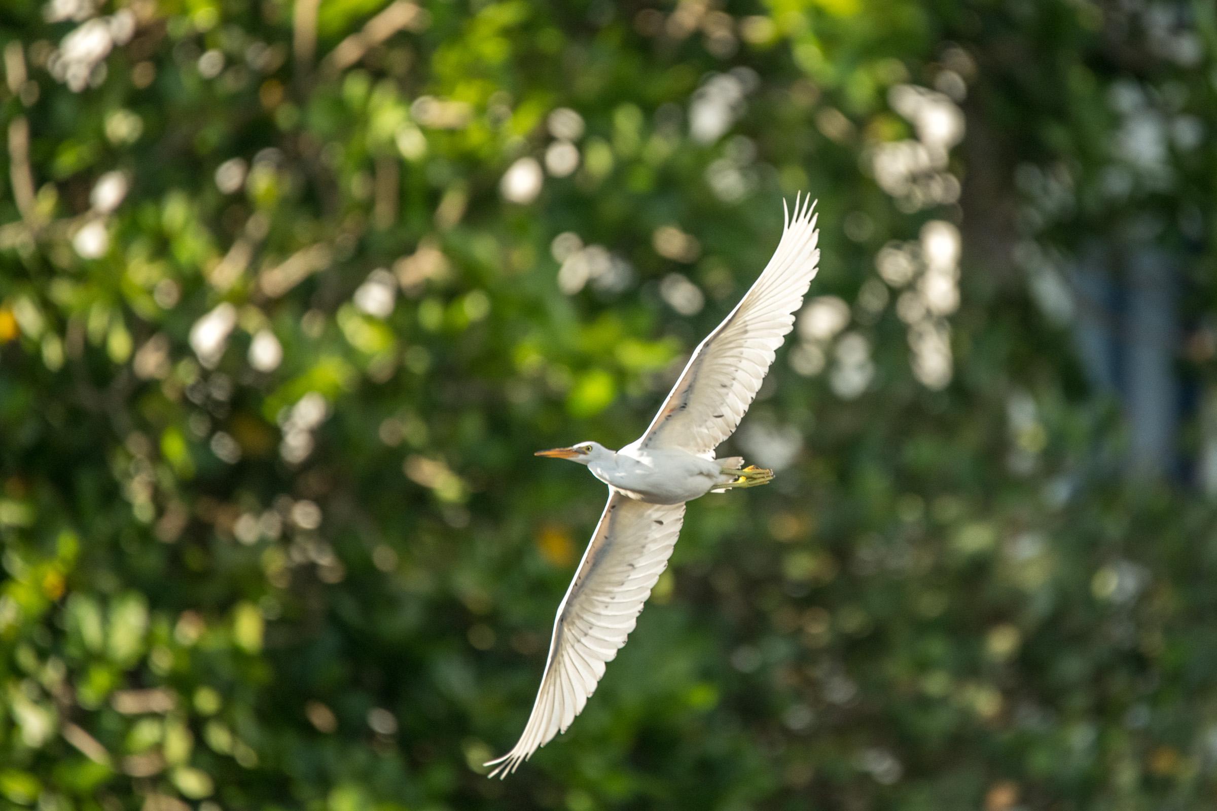 Eastern Reef heron