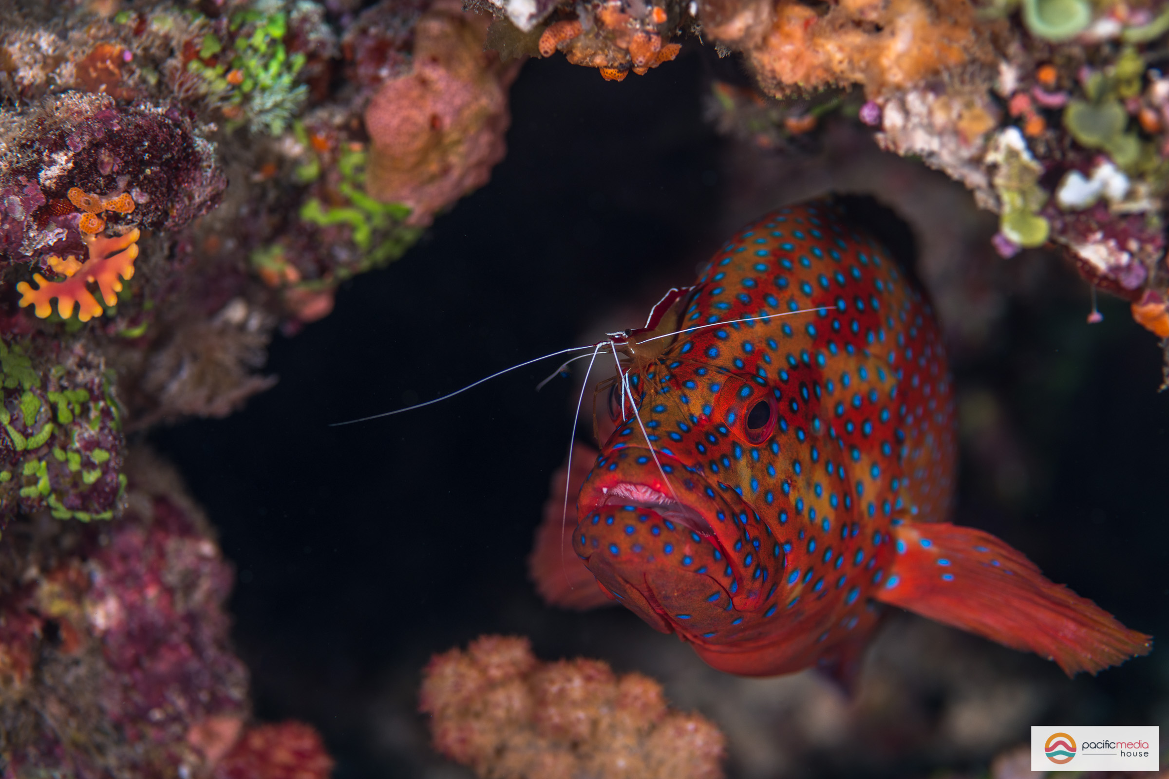 A cleaner shrimp cleans a grouper
