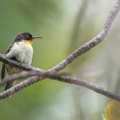 Project manumanu vuka | Photos of all birds of Fiji