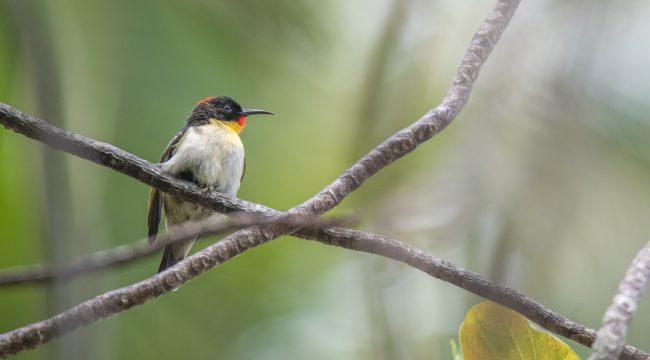 Project manumanu vuka | Photos of all birds of Fiji