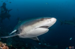 Can bull sharks be friends? My latest article in The Guardian